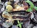 2014-09-21 Boletus roseoalbidus (Alessio & Littini) G. Moreno & Heykoop 459703.jpg