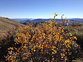 2014-10-03 15 41 41 Bush with yellow autumn foliage along the main ridgeline of the Diamond Mountains between Newark Summit and Diamond Peak, Nevada.JPG