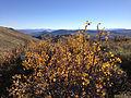 2014-10-03 15 41 41 Bush with yellow autumn foliage along the main ridgeline of the Diamond Mountains between Newark Summit and Diamond Peak, Nevada.JPG