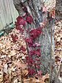 2014-12-20 13 04 13 Reddish-colored English Ivy leaves along Terrace Boulevard in Ewing, New Jersey.JPG
