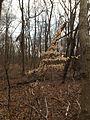 2014-12-30 12 24 06 American Beech sapling in the woods near Metzger Drive at the College of New Jersey in Ewing, New Jersey.JPG