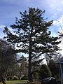 2014-12-30 13 32 34 Momi Fir on Brenwal Avenue in Ewing, New Jersey.JPG