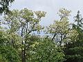 20140511Robinia pseudoacacia.jpg