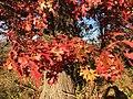 2015-11-15 14 45 29 Scarlet Oak foliage in autumn along Interstate 95 in Hopewell Township, Mercer County, New Jersey.jpg