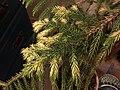 2015-12-28 00 15 17 Chlorosis on an Araucaria.jpg