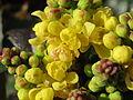 20150317Mahonia aquifolium.jpg