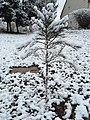 2016-03-04 07 28 49 A Giant Sequoia sapling coated in a light wet snowfall along Tranquility Court in the Franklin Farm section of Oak Hill, Fairfax County, Virginia.jpg