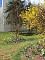2016-03-18 13 31 25 Forsythia blossoms along Tranquility Court in the Franklin Farm section of Oak Hill, Fairfax County, Virginia.jpg