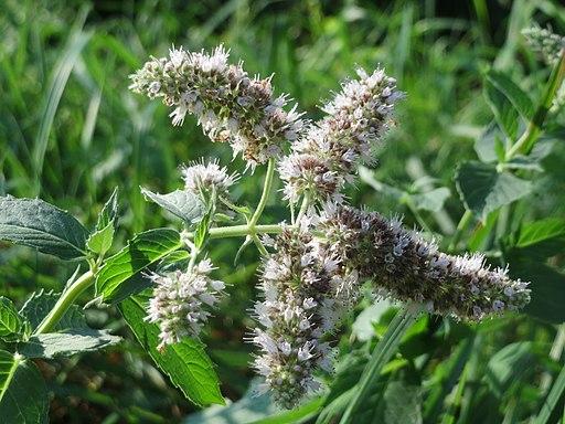 20160831Mentha longifolia1