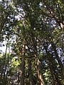 2017-09-10 12 52 00 View up into the canopy of a grove of Eastern Hemlocks between Lake Road and Spring Lake in Berlin, Rensselaer County, New York.jpg