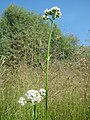 20170620Valeriana officinalis4.jpg