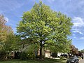 2019-04-23 13 09 46 A Pin Oak leafing out in mid-Spring along Glen Taylor Lane in the Chantilly Highlands section of Oak Hill, Fairfax County, Virginia.jpg