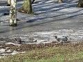 3 doves. February 2014. - 3 голубя. Февраль 2014. - panoramio.jpg