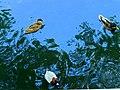 3 ducks, Yerevan Zoo.jpg