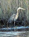 45 Great Blue Heron Bennetts Point RD Green Pond SC 6873 (12397959553).jpg