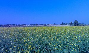 Rawla Mandi tehsil - Mustard fields in a village near Rawla Mandi.