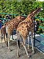 50 Jahre Knie's Kinderzoo Rapperswil - Giraffa camelopardalis 2012-10-03 14-31-00.jpg