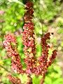 5681 - Schynige Platte - Flowers.JPG