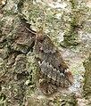 70.245 BF1663 March Moth, Alsophila aescularia (3352654517).jpg