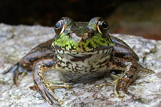 Green Mountain National Forest - Image: A296, Frog, Green Mountain National Forest, Vermont, USA, 2010