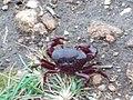 A crab at Seethargundu Viewpoint.JPG