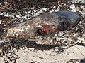 A dead seal on the strand at Greencastle - geograph.org.uk - 2291328.jpg