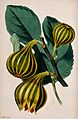 A fig plant (Ficus carica var.); fruiting stem and leaf. Col Wellcome V0044762.jpg