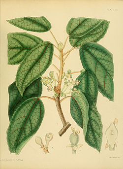 A hand-book to the flora of Ceylon (Plate VIII) (6430633791).jpg