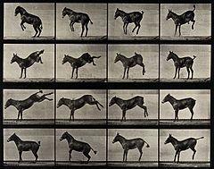 A horse rearing and bucking. Photogravure after Eadweard Muy Wellcome V0048757.jpg