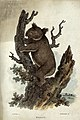 A koala bear climbing up a tree. Coloured etching by T. L. B Wellcome V0020492.jpg