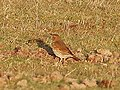 A lone Song Thrush - geograph.org.uk - 1162637.jpg