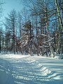 A winter forest in the North-West of Sakhalin. 3.jpg