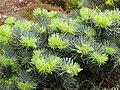Abies concolor 'Compacta' Jodła jednobarwna 2010-05-15 03.jpg