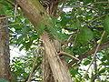 Acacia collinsii2.jpg