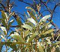 Acacia elacantha foliage.jpg