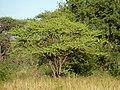 Acacia tortilis, habitus, Springbokvlakte.jpg