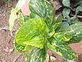 Acalypha wilkesiana hoffmanii-1-yercaud-salem-India.JPG