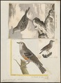 Accentor alpinus - 1700-1880 - Print - Iconographia Zoologica - Special Collections University of Amsterdam - UBA01 IZ16200382.tif