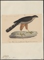 Accipiter tachiro - 1835 - Print - Iconographia Zoologica - Special Collections University of Amsterdam - UBA01 IZ18300099.tif