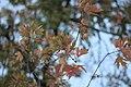 Acer palmatum - Japanski javor (2).jpg