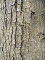 Acer tataricum bark.JPG