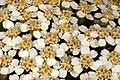 Achillea millefolium 5Dsr 9260-01.jpg