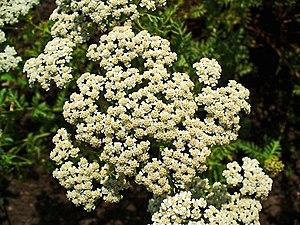 Achillea nobilis - Achillea nobilis. Inflorescence