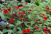 Achimenes erecta in cultivation.jpg