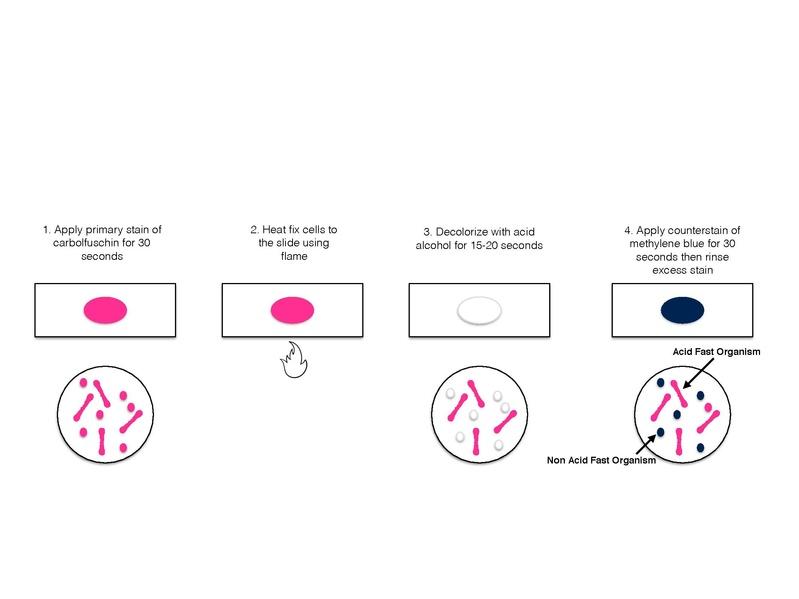 File:Acid Fast Stain.pdf