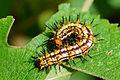 Acraea issoria formosana larva 20130817.jpg