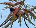 Acrocarpus fraxinifolius00.jpg