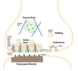 Active zone - The presynaptic active zone and the synaptic vesicle cycle