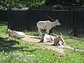 Addax nasomaculatus in the Silesian Zoological Garden 01.JPG
