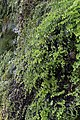 Adiantum capillus-veneris, Kanjon reke Jerme, Srbija (149).jpg